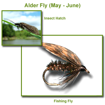 Alder Insect Hatch and Fishing Flies / Fly