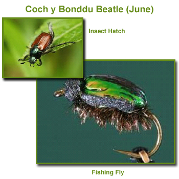 Coch y Bonddu Beatle Insect Hatch and Fishing Flies / Fly