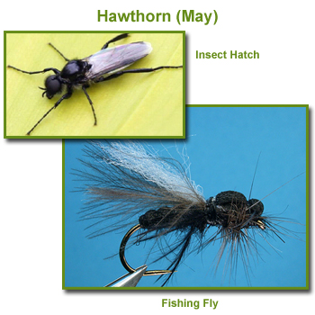 Hawthorn Insect Hatch and Fishing Flies / Fly