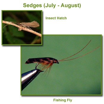Sedges Insect Hatch and Fishing Flies / Fly